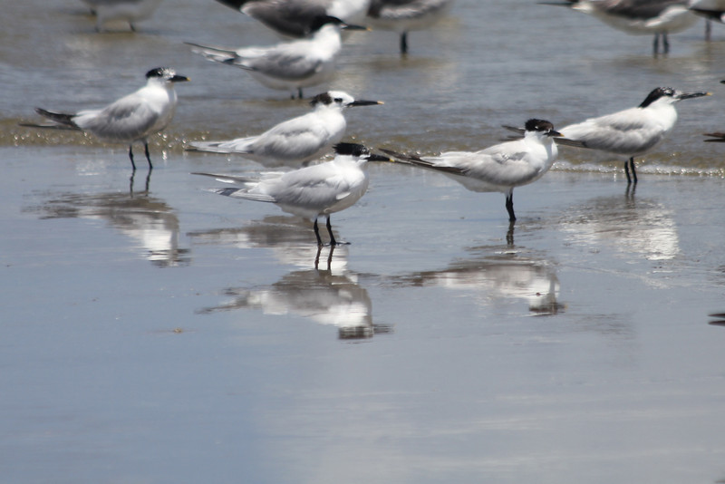 June 27, 2011 (Grand Isle State Park [beach] / Jefferson Parish, Louisiana) - Sandwich Terns