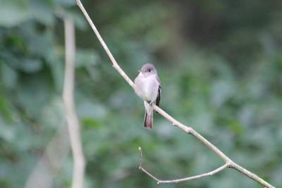 June 23, 2011 (Noxubee National Wildlife Refuge [Goose Overlook] / Brooksville, Oktibbeha County, Mississippi) - Acadian Flycatcher