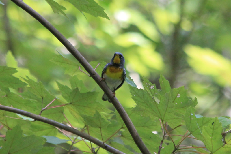 June 26, 2011 (Jean Lafitte National Historical Park & Preserve [Barataria Preserve Palmetto Trail] / Jefferson Parish, Louisiana) - Northern Parula