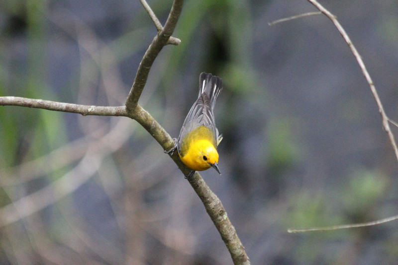 June 23, 2011 (Noxubee National Wildlife Refuge [Goose Overlook] / Brooksville, Oktibbeha County, Mississippi) - Prothonotary Warbler