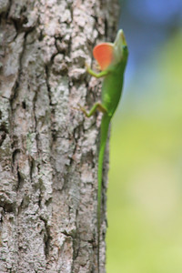 June 26, 2011 (Jean Lafitte National Historical Park & Preserve [Barataria Preserve Palmetto Trail] / Jefferson Parish, Louisiana) - Lizard