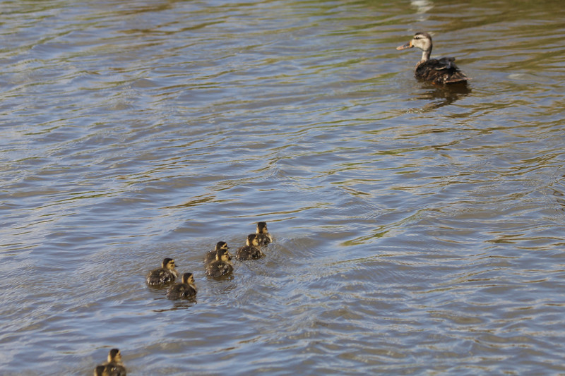 June 27, 2011 (South of Golden Meadows [canal by Hwy 1] / Lafourche Parish, Louisiana) - Mallard with 9 ducklings