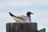 June 24, 2011 (Ocean Springs [Lake Mars Ave piers] / Jackson County, Mississippi) - Laughing Gull