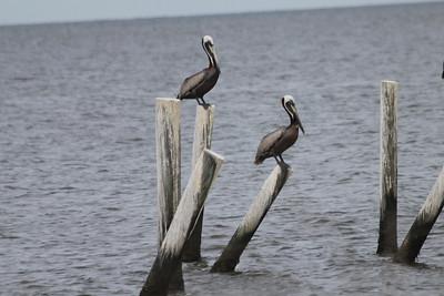June 23, 2011 (Dauphin Island Bridge [beginning] / Mobile County, Alabama) - Brown Pelicans