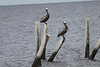 June 23, 2011 (Dauphin Island Bridge [beginning] / Mobile County, Alabama) - Brown Pelicans