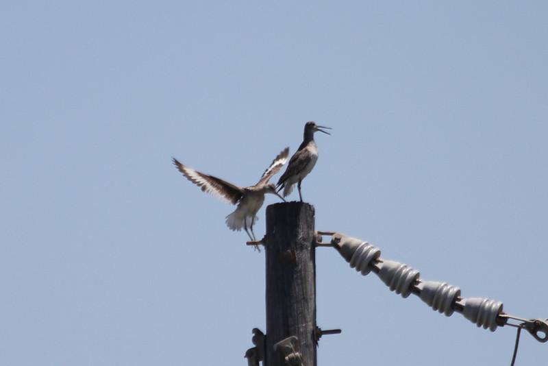 June 27, 2011 (Elmer's Island [Louisiana Wildlife Refuge] / Jefferson Parish, Louisiana) - Willets