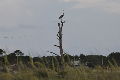 June 23, 2011 (Audubon Bird Sanctuary [ocean/beach entrance] / Dauphin Island, Mobile County, Alabama) - Great Blue Heron
