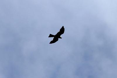 June 26, 2011 (Jean Lafitte National Historical Park & Preserve [Barataria Preserve Visitor Center Trails] / Jefferson Parish, Louisiana) - Mississippi Kite
