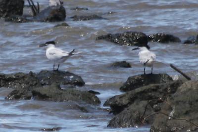 June 24, 2011 (Ocean Springs [Lake Mars Ave piers] / Jackson County, Mississippi) - Sandwich Terns