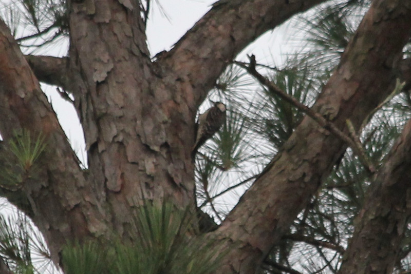 June 22, 2011 (Noxubee National Wildlife Refuge [near visitor center] / Brooksville, Oktibbeha County, Mississippi) - Red-cockaded Woodpecker