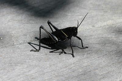 JJune 26, 2011 (Jean Lafitte National Historical Park & Preserve [Barataria Preserve Palmetto Trail] / Jefferson Parish, Louisiana) - Eastern Lubber Grasshopper