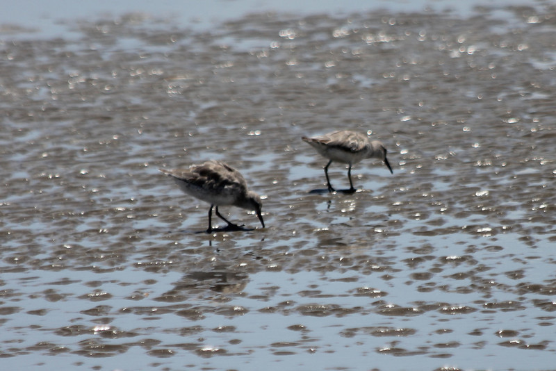 June 27, 2011 (Grand Isle State Park [beach] / Jefferson Parish, Louisiana) - Dunlins