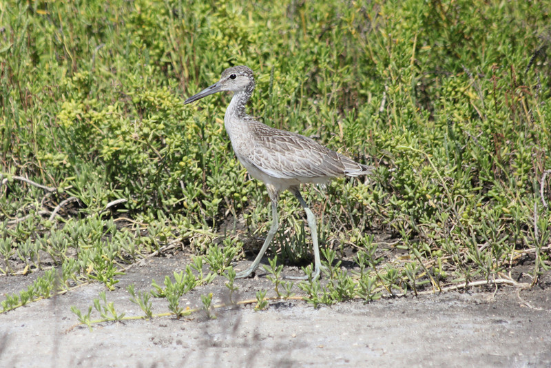 June 27, 2011 (Port Fourchon [Hwy 1] / Lafourche Parish, Louisiana) - Juvenile Willet