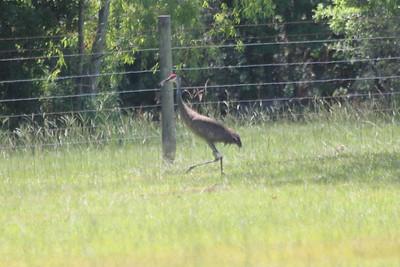 June 24, 2011 (very near Mississippi Sandhill Crane National Wildlife Refuge [in private yard near exit 57 of Hwy I-10] / Jackson County, Mississippi) - Mississippi Sandhill Crane