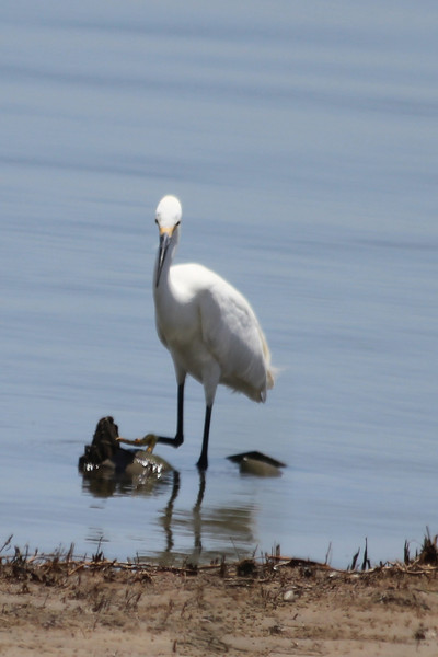 June 27, 2011 (Elmer's Island [Louisiana Wildlife Refuge] / Jefferson Parish, Louisiana) - Snowy Egret