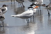 June 27, 2011 (Grand Isle State Park [beach] / Jefferson Parish, Louisiana) - Royal Terns