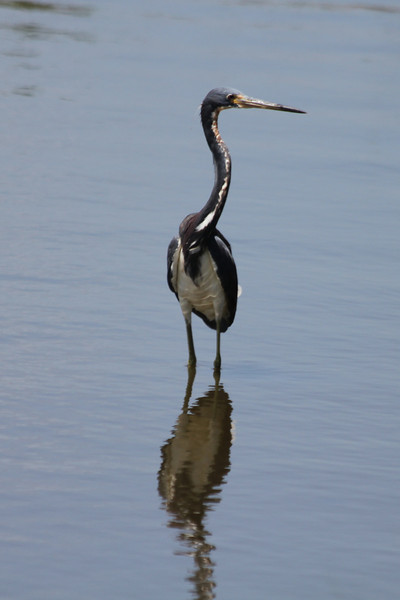 June 27, 2011 (Grand Isle State Park [near visitor center] / Jefferson Parish, Louisiana) - Tricolored Heron