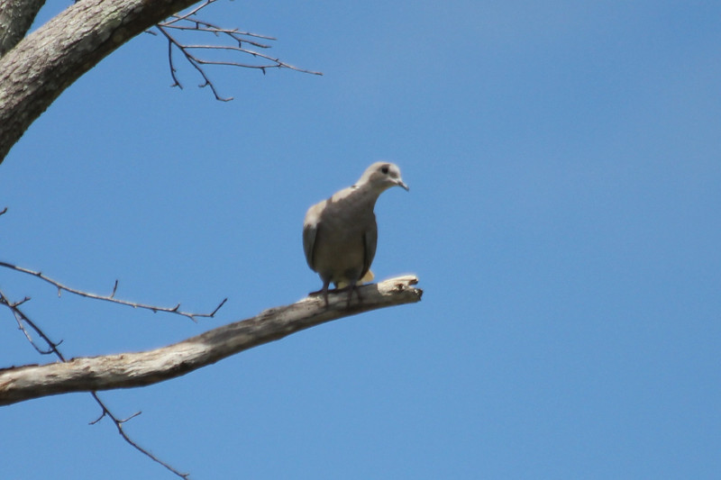 June 24, 2011 (Ocean Springs [Seacliff Blvd.] / Jackson County, Mississippi) - Eurasian Collared Dove