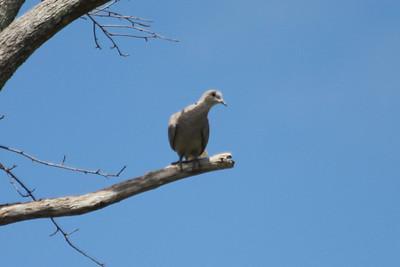June 24, 2011 (Ocean Springs [Seacliff Blvd.] / Jackson County, Mississippi) - Eurasian Collared Dove