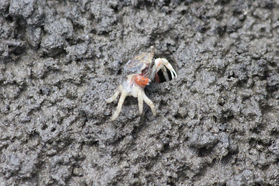 June 24, 2011 (Ocean Springs [Lake Mars Ave piers] / Jackson County, Mississippi) - Tiny Crab