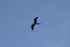 June 27, 2011 (Grand Isle State Park [outside entrance] / Jefferson Parish, Louisiana) - Female Magnificent Frigatebird
