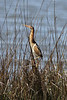 June 27, 2011 (Elmer's Island [Louisiana Wildlife Refuge] / Jefferson Parish, Louisiana) - Male Least Bittern