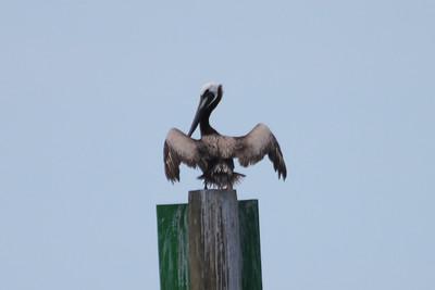 June 24, 2011 (Ocean Springs [Lake Mars Ave piers] / Jackson County, Mississippi) - Brown Pelican