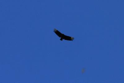 June 26, 2011 (Jean Lafitte National Historical Park & Preserve [Barataria Preserve Visitor Center Trails] / Jefferson Parish, Louisiana) - Black Vulture