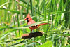 June 26, 2011 (Jean Lafitte National Historical Park & Preserve [Barataria Preserve/Bayou Coquille Trail] / Jefferson Parish, Louisiana) - Northern Cardinal