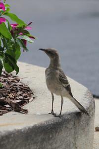"June 22, 2011 (Starkville [Holiday Inn parking lot] / Oktibbeha County, Mississippi) - Northern Mockingbird - ""Mississippi State Bird"""