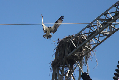 June 24, 2011 (Grand Bay National Wildlife Refuge [at high tower near visitor center] / Jackson County, Mississippi) - Osprey delivering nesting material