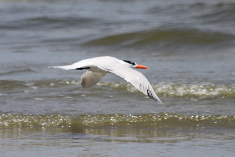 June 27, 2011 (Grand Isle State Park [beach] / Jefferson Parish, Louisiana) - Royal Tern