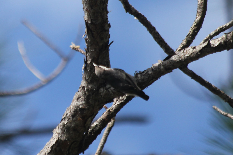 June 24, 2011 (Grand Bay National Wildlife Refuge [in pines near visitor center] / Jackson County, Mississippi) - Brown-headed Nuthatch