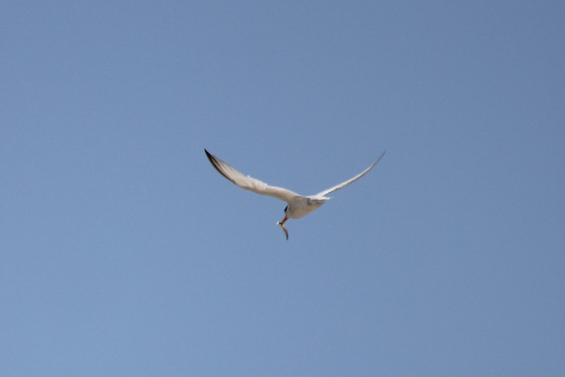June 27, 2011 (Elmer's Island [Louisiana Wildlife Refuge] / Jefferson Parish, Louisiana) - Least Tern with fish