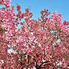 Magnolias and blue sky