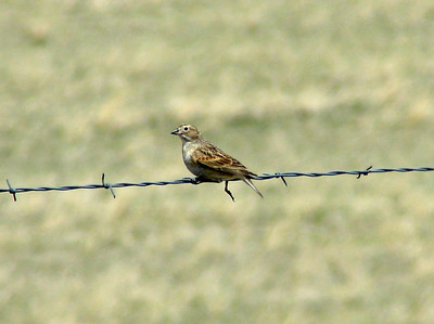May 17, 2008 - (Blackfeet Reservation [Mission Road] / South Browning, Glacier County, Montana) -- Female McCown's Longspur