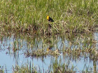 May 16, 2008 (Hwy 2 / Cardston County, Alberta) - Yellow-headed Blackbird