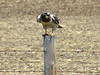 May 16, 2008 (Hwy 2 / Cardston County, Alberta) - Swainson's Hawk