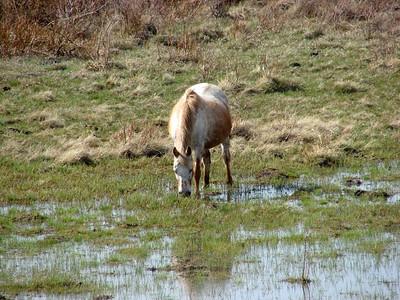 May 17, 2008 - (Blackfeet Reservation Potholes [Hwy 2] / Browning, Glacier County, Montana) -- Horse