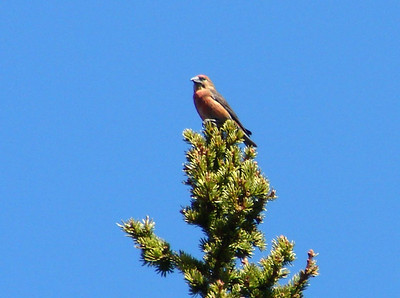 May 16, 2008 (Hwy 89) - Red Crossbill