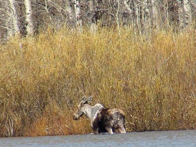 May 17, 2008 (Hwy 49 / Frog Flats) - Moose