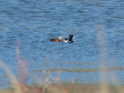 May 16, 2008 (Hwy 2 [roadside pond]) - Ring-necked Ducks
