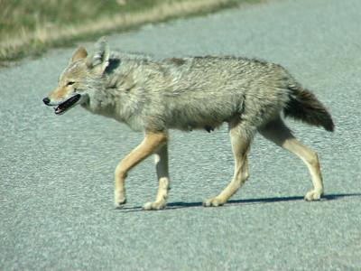 May 16, 2008 (Many Glaciers Entrance to Glacier Nat'l Park) - Coyote