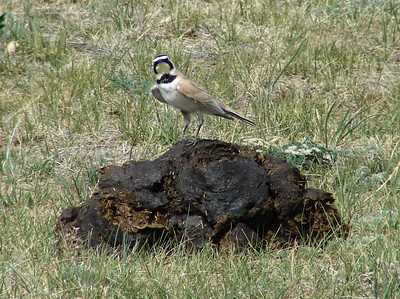 May 17, 2008 - (Blackfeet Reservation [Mission Road] / South Browning, Glacier County, Montana) -- Horned Lark