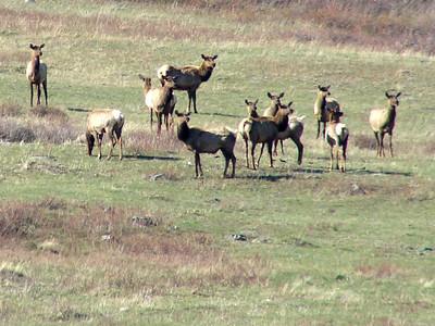 May 16, 2008 (Many Glaciers Entrance to Glacier Nat'l Park) - Mule Deer