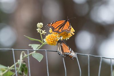 Several flower clusters were hosting visiting Monarchs.
