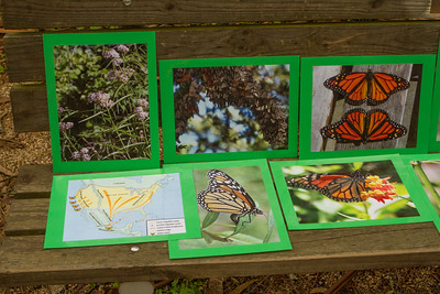 The docents also have put together an information display about the butterflies.