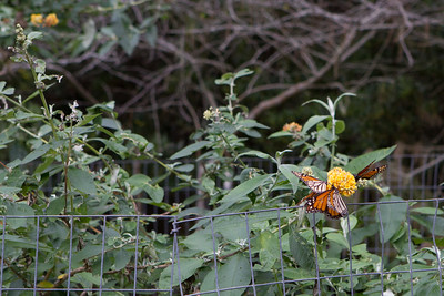 I wandered down the path and found a bush that was apparently of great interest to the butterflies.