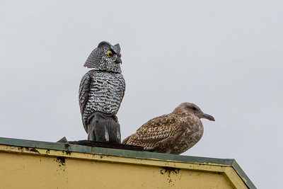 I have my doubts about the owl keeping other birds away from the restaurants on the wharf.