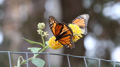 Here's some video of the butterflies harvesting nutrition from the flower cluster.
